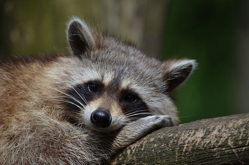 Raccoon rests on a log