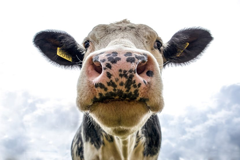 A cow with a tag in its ear
